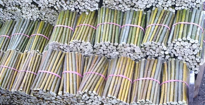 Energy willow  Salix viminalis – biomass where you want it