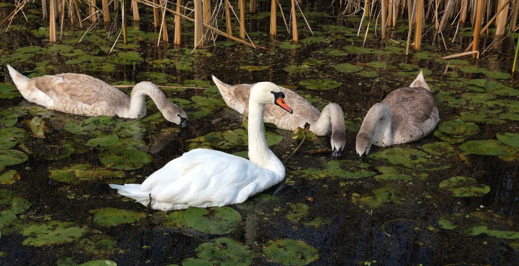 zasavica-precistac-otpadnih-voda-labud