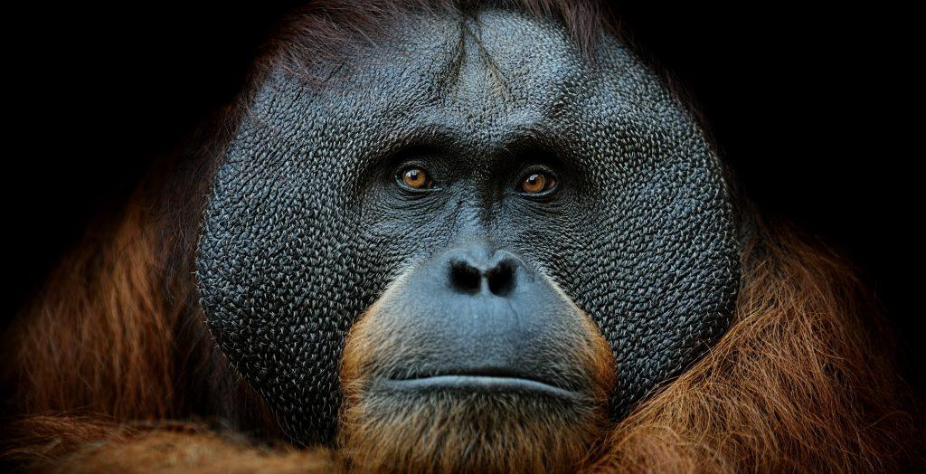 tikkurila-sumatranski-orangutan-ugrozene-vrste