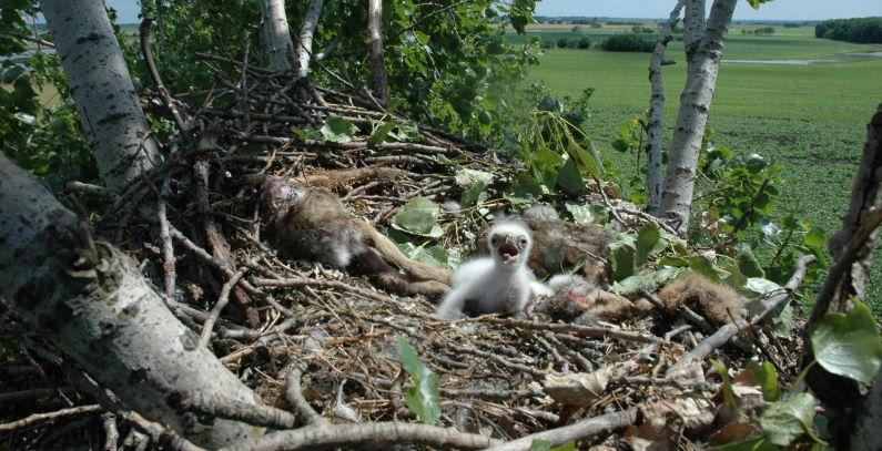 Tri para orlova krstasa potomstvo na severu Banata