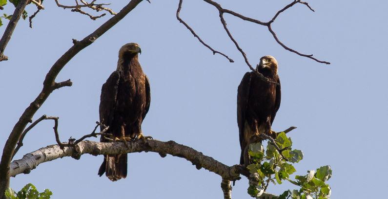 Tri para orlova krstasa potomstvo severu Banata