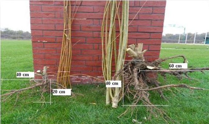 Pic 4 Salix root system