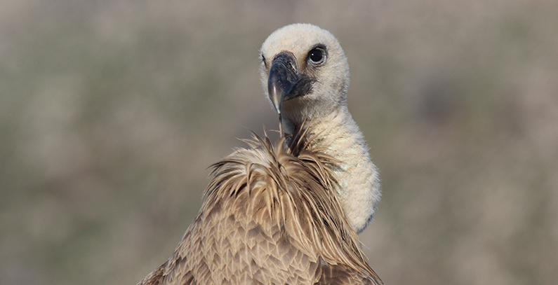 Dobrila the griffon vulture flies back to Serbia on Turkish Airlines