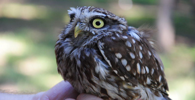 Seven owls, 12 other birds of prey returned to the wild near Belgrade