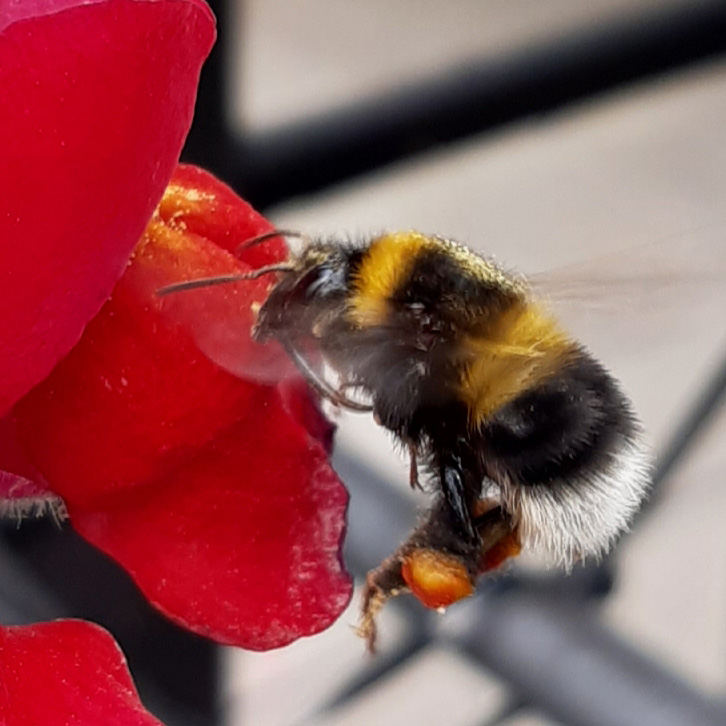 International-Day-for-Biological-Diversity-2020-Nikola-Stojnic-bee