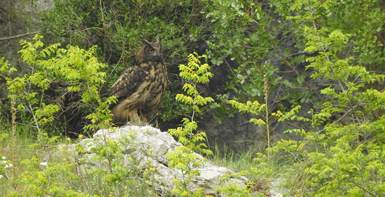 Flora, fauna research basins Neretva tributaries Eurasian eagle-owl